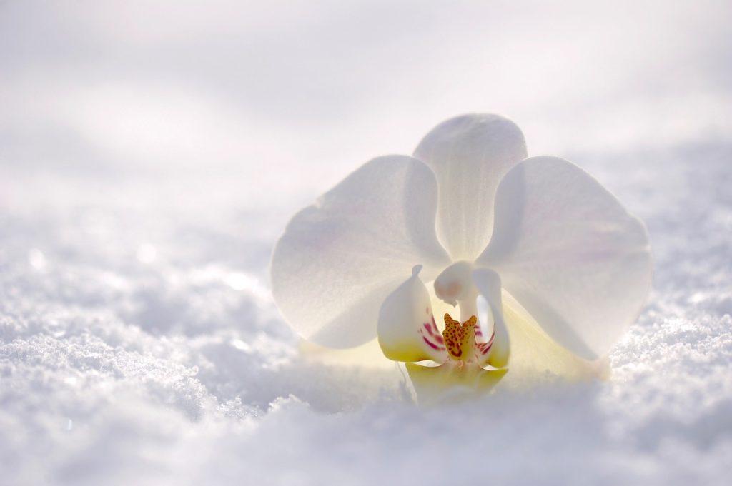 Pestovanie orchideí v domácnosti